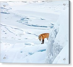 Fox Of The North V Acrylic Print by Mary Amerman