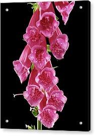 Foxglove (digitalis Purpurea) Acrylic Print by Gilles Mermet