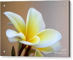 Fragrant Frangipani Flower Acrylic Print by Sabrina L Ryan
