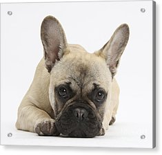 French Bulldog Acrylic Print by Mark Taylor