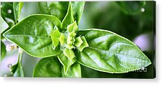 Fresh Basil Acrylic Print by French Toast
