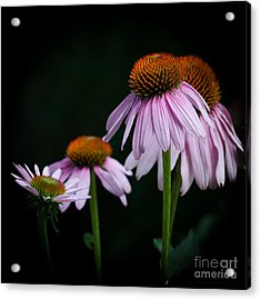 Fresh Echinacea Acrylic Print by Renee Barnes