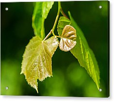 Fresh - Featured 3 Acrylic Print by Alexander Senin