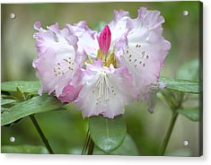 Frilly Pinks Acrylic Print by Diego Re