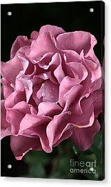 Frilly Rose Acrylic Print by Joy Watson