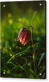 Fritillaria Meleagris Acrylic Print by Davorin Mance