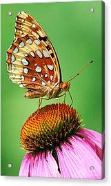 Fritillary Butterfly Acrylic Print by Christina Rollo