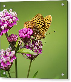 Fritillary Butterfly Square Format Acrylic Print by Christina Rollo