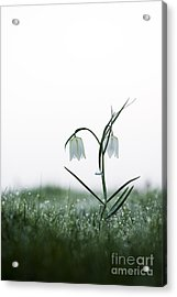 Fritillary In The Mist Acrylic Print by Tim Gainey