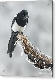 Frosted Magpie Acrylic Print by Tim Grams
