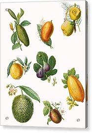 Fruit Acrylic Print by English School