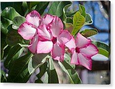 Fushia Oleander Near Phoenx Arizona 2 Acrylic Print by Douglas Barnett