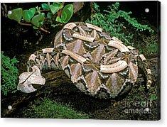 Gaboon Viper Acrylic Print by ER Degginger