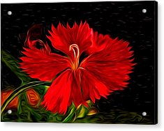 Galactic Dianthus Acrylic Print by David Kehrli