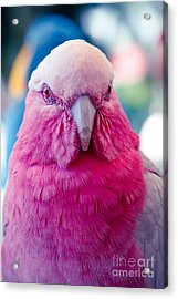 Galah - Eolophus Roseicapilla - Pink And Grey - Roseate Cockatoo Maui Hawaii Acrylic Print by Sharon Mau