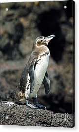 Galapagos Penguin Acrylic Print by William H. Mullins