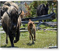 Gallopin Bison Mom And Calf Acrylic Print by Bruce Gourley