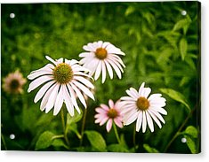 Aster Acrylic Print featuring the photograph Garden Dasies by Tom Mc Nemar