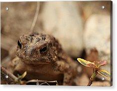 Garden Frog Acrylic Print by Karol Livote