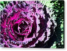 Garden Haze - Purple Kale Art By Sharon Cummings Acrylic Print by Sharon Cummings