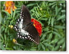 Garden Spice Butterfly Acrylic Print by Christina Rollo