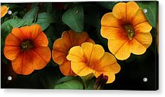 Gathering Of Petunias Acrylic Print by Bruce Bley