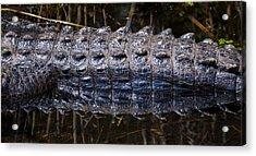 Gator Reflection Acrylic Print by Adam Pender