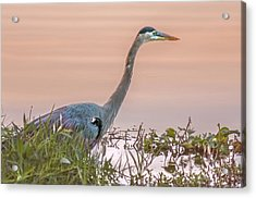 Gbh  Stalking Acrylic Print by Donnie Smith