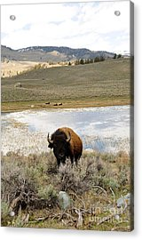 Gentle Giant Acrylic Print by Birches Photography