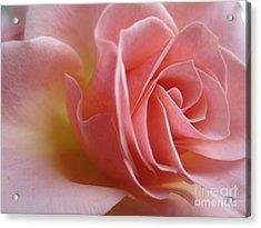 Gentle Pink Rose Acrylic Print by Tara  Shalton
