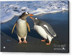 Gentoo Penguin Chick Begging For Food Acrylic Print by Yva Momatiuk and John Eastcott