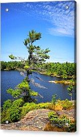 Georgian Bay Pine Tree Acrylic Print by Charline Xia