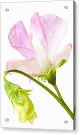 Geranium Pink Acrylic Print by Anne Gilbert