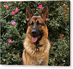 German Shepherd Dog Acrylic Print by Sandy Keeton