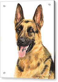German Shepherd Painting Portrait  Acrylic Print by Kate Sumners