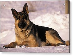 German Shepherd Acrylic Print by Rolf Kopfle