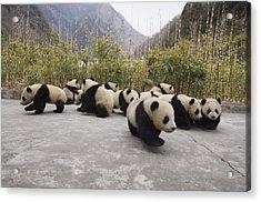Giant Panda Cubs Wolong China Acrylic Print by Katherine Feng
