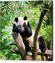 Giant Panda Acrylic Print by Pan Xunbin