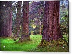 Giant Sequoias II. Benmore Botanical Garden. Scotland Acrylic Print by Jenny Rainbow