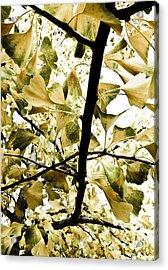 Ginkgo Leaves Acrylic Print by Frank Tschakert