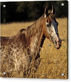 Giraffe Horse D7330 Acrylic Print by Wes and Dotty Weber