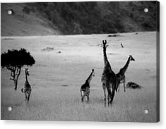 Giraffe In Black And White Acrylic Print by Sebastian Musial
