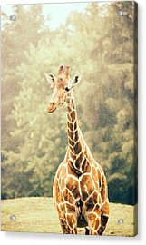 Giraffe In The Rain Acrylic Print by Pati Photography
