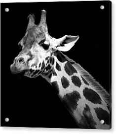 Portrait Of Giraffe In Black And White Acrylic Print by Lukas Holas