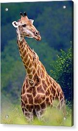 Giraffe Portrait Closeup Acrylic Print by Johan Swanepoel