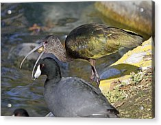 Glossy Ibis Eating Acrylic Print by Shoal Hollingsworth