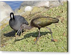 Glossy Ibis Acrylic Print by Shoal Hollingsworth