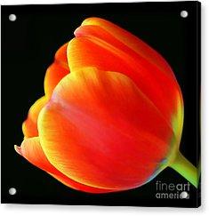 Glowing Tulip Acrylic Print by Darren Fisher