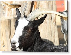 Goat 7d27396 Acrylic Print by Wingsdomain Art and Photography