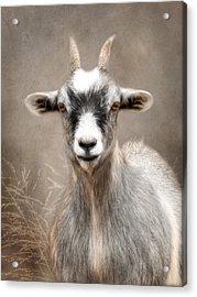 Goat Portrait Acrylic Print by Lori Deiter